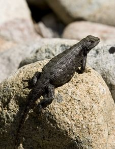 Free Eastern Washington Lizard Royalty Free Stock Image - 1622856