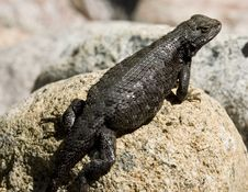 Free Eastern Washington Lizard Stock Photography - 1622892