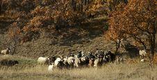 Free Sheeps Stock Photos - 1623003