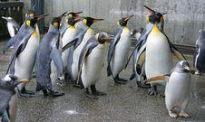 Free King Penguin 3 Stock Photos - 1623833