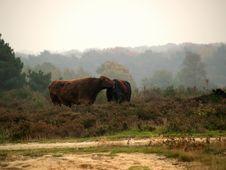 Free Highland Bulls Stock Images - 1624064