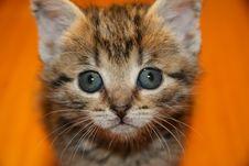 Free Kitten Royalty Free Stock Images - 1624069