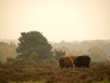 Free Highland Bulls Stock Image - 1624081