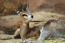 Free Klipspringer Antelope Royalty Free Stock Images - 1625469