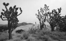 Free Hiking Through A Joshua Tree Forest Stock Photos - 1625953