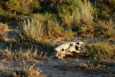 Skull In Sage Brush Stock Photo