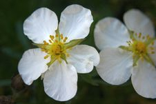 Free White Flowers Royalty Free Stock Photo - 1627045