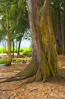 Free Old Tree Royalty Free Stock Photo - 1628445