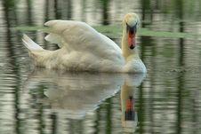 Mute Swan(Cygnus Olor) Stock Image