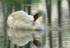 Mute Swan(Cygnus Olor)