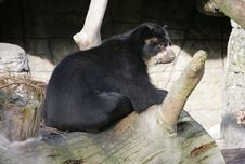 Free Spectacled Bear 4 Stock Photography - 1629552