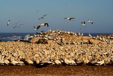 Free Cape Gannets, Lamberts Bay Royalty Free Stock Images - 1629879