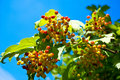 Free Branch Of Berry Stock Photography - 16200712