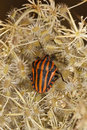 Free Striped Shield Bug Stock Photography - 16201752