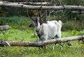 Free Goat Stock Photography - 16202032