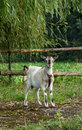 Free Goat Royalty Free Stock Photography - 16202147