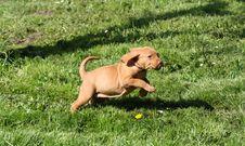 Free Magyar Vizsla Puppy Royalty Free Stock Images - 16200519