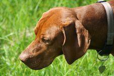 Free Magyar Vizsla Dog Royalty Free Stock Photography - 16201047