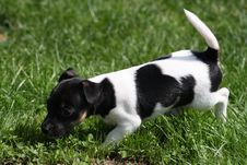 Free Jack Russell Terrier Puppy Royalty Free Stock Images - 16201239
