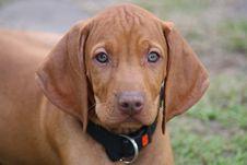 Free Magyar Vizsla Puppy Royalty Free Stock Photo - 16201265