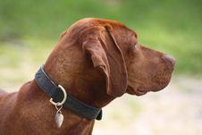 Free Magyar Vizsla Dog Royalty Free Stock Photo - 16201325
