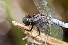 Keeled Skimmer Dragonfly Royalty Free Stock Photo