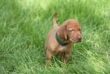 Free Magyar Vizsla Puppy Royalty Free Stock Photos - 16201538