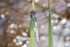 Free Keeled Skimmer Dragonfly Royalty Free Stock Image - 16201586
