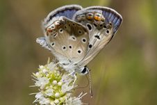 Free Common Blue Butterfly Royalty Free Stock Photography - 16201627
