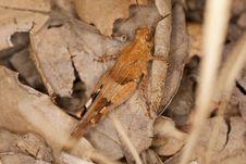 Free Blue-winged Grasshopper Royalty Free Stock Image - 16201676