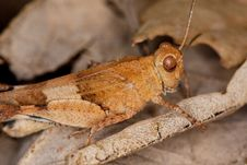 Free Blue-winged Grasshopper Royalty Free Stock Photography - 16201677