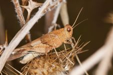 Free Blue-winged Grasshopper Stock Images - 16201714