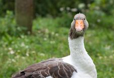 Free Goose Stock Photography - 16201812