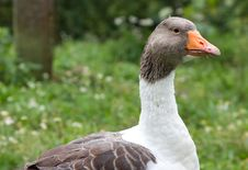 Free Goose Royalty Free Stock Photography - 16201827