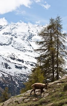Free Capra Ibex - Italian Alps Royalty Free Stock Photo - 16201915