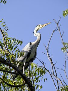 Free Grey African Heron In Tree Royalty Free Stock Photos - 16201968