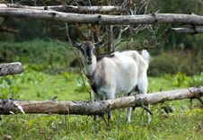 Free Goat Stock Photography - 16202032