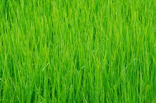 Free Detail Of Rice Field In Thailand. Stock Photo - 16202070