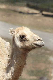 Free Camel Royalty Free Stock Photography - 16202097