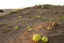 Free Desert Melons Royalty Free Stock Images - 16202609