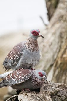 Free Speckled Pigeon Royalty Free Stock Photography - 16202667