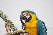 Free Blue-and-yellow Macaw Stock Photo - 16202740