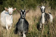 Free Goats On The Meadow Stock Photos - 16203243
