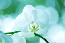 Free Orchid Royalty Free Stock Photo - 16203325