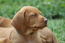 Free Magyar Vizsla Puppy Stock Photography - 16203402