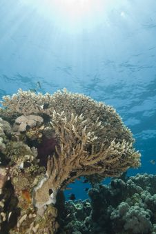 Free A Pristine Tropical Table Coral Reef. Stock Photo - 16203500