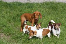 Free Magyar Vizsla Puppy With Jackies Stock Photo - 16203590