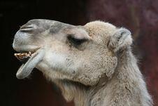 Free Camel Royalty Free Stock Photos - 16203698