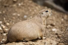 Free Prairie Dog Royalty Free Stock Photo - 16203755