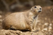Free Prairie Dog Royalty Free Stock Photography - 16203797